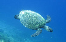Turtle at Gili Island